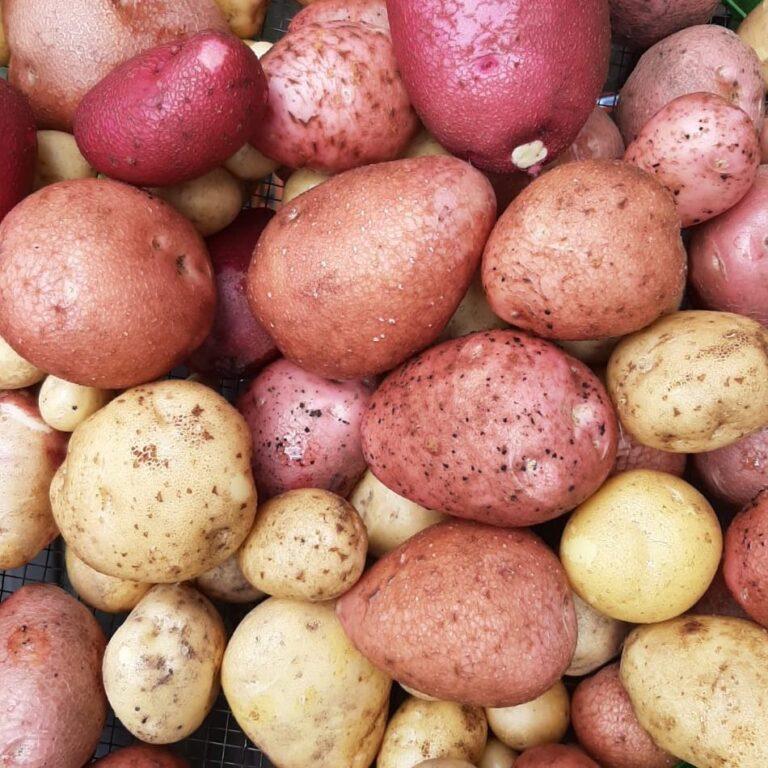 verschiedene, hellgelb bis rotschalige Kartoffeln