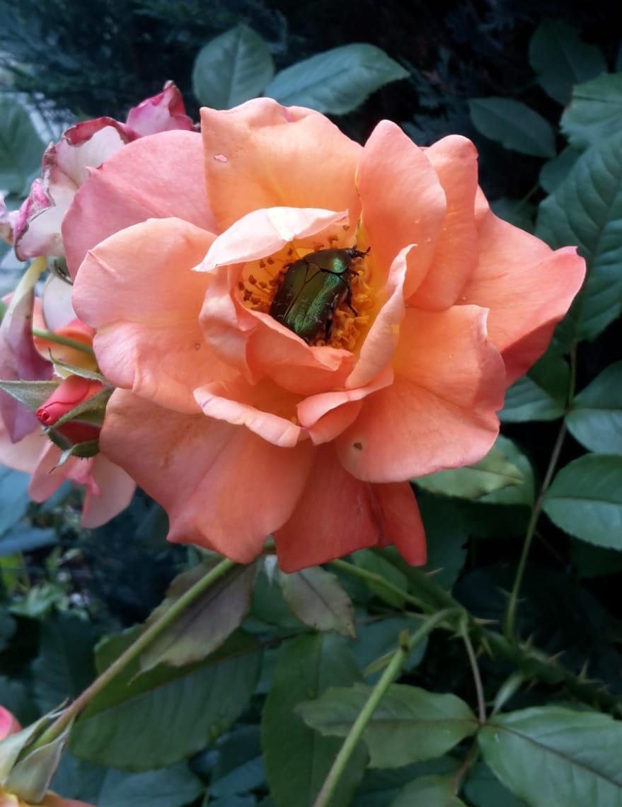Rosenkäfer in Blüte, Foto von Angelika Plate
